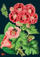Card (Madame Treacle): Pink Geranium