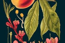Card (Madame Treacle): Peach