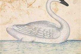 Card: Trumpeter Swan