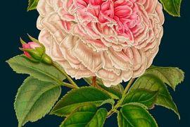 Card (Madame Treacle): Rose